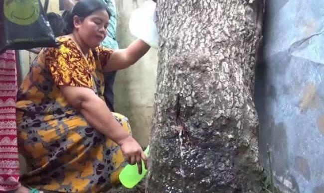 Kenapa Pohon Akasia di Jember Bisa `Menangis`? Ini Penjelasan Secara Ilmiah