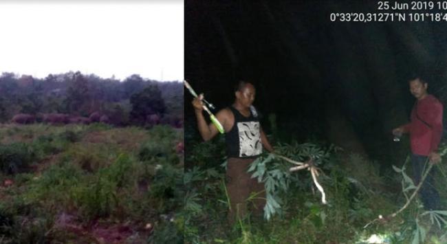 Lagi, Komplotan Gajah Liar Rusak Lahan Sawit Warga Tapung