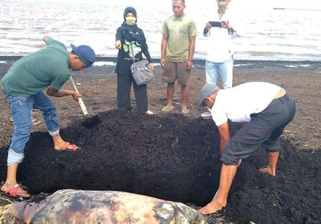 Ikan Duyung Ditemukan Mati di Pantai Dumai