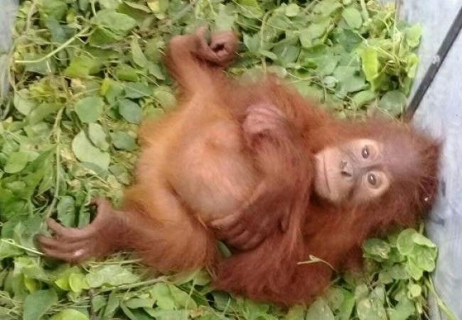 KLHK Gagalkan Penyelundupan Orangutan dari Dalam Bus Cargo di Pekanbaru