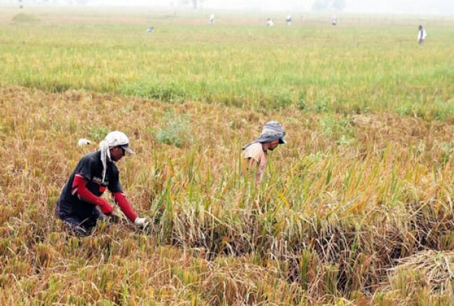 Nilai Tukar Petani di Riau Turun 0,20% di Maret 2019