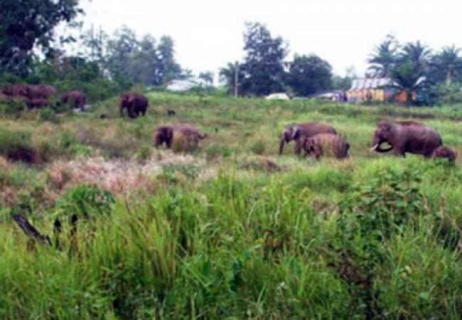 Kawanan Gajah Dari TNTN Masuki Kebun Warga di Kuansing