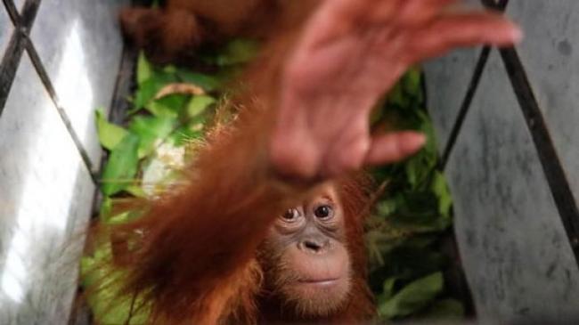 Alert! Orangutan Terancam Punah & Kelaparan Gegara Corona
