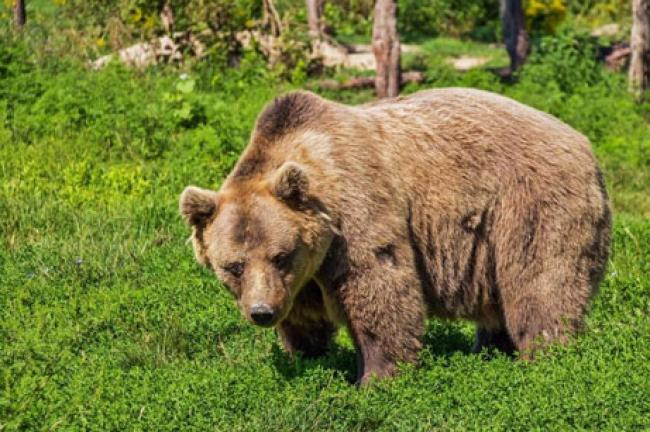 Beruang Ditembak Mati saat Melahap Tubuh Manusia di Taman Nasional AS