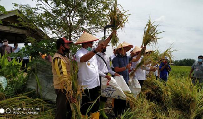 Bupati Suyatno Panen Raya Padi Sawah di Desa Mukti Jaya Seluas 189 Ha