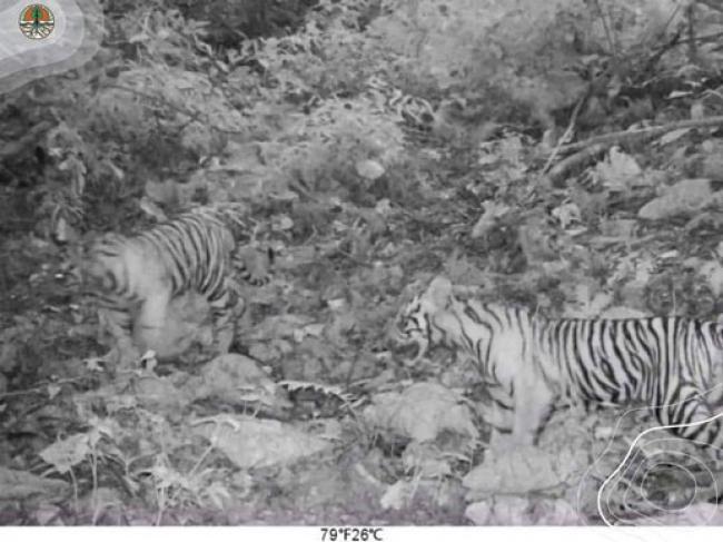 Tiga Anak Harimau Terekam Kamera di Bukit Tiga Puluh Riau