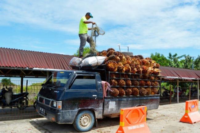 CPO Malaysia Melesat, Minyak Sawit Mentah Riau Ikut Naik